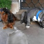 A Guilty Pit Bull Hides Behind His Dachshund Brother When Confronted About a Chewed Insole