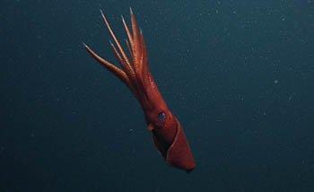 Octopoteuthis deletron