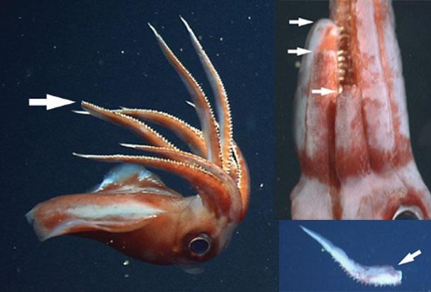 Squid detaching arm