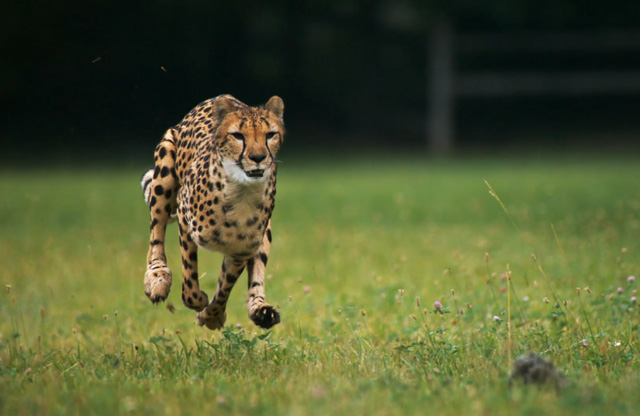 Cheetah running in super slow motion