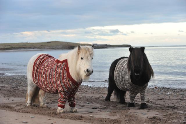 Shetland Ponies in Cardigans