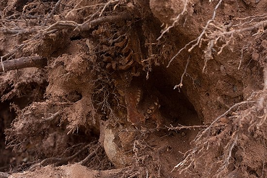 Human skeleton discovered in fallen tree