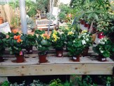 Rose Drummond plantes
