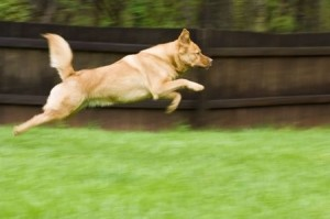 Image of dog bounding across yard.
