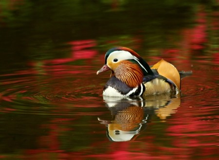 Ducks are not swans, but their difference may be what makes them stand out.