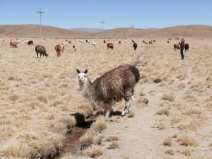 Lama de Bolivie