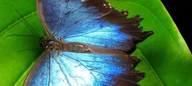 The Peleides Blue Morpho Butterfly | Green Hills Butterfly Ranch Belize