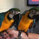 2 Talking Blue and Gold Macaw parrots for good homes now