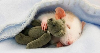 cute-rat-photo-7