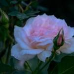 Lee Ann Torrans Antoine-Rivoire-Texas-Rose-