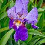 LeeAnnTorrans-Iris-5