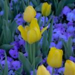 LeeAnnTorrans-Tulips-8