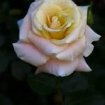 Prarie-Harvest-Rose-3-27-2