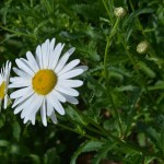 Lee-Ann-Torrans-Texas-Angelita-Daisy-2