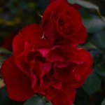 Lee-Ann-Torrans-Texas-Roses-Cameron-Bohls