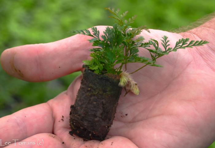 Where are ferns born?  The fern garden!