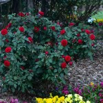 Europeana Red Floribunda