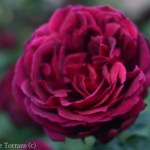 Oklahoma_Grandiflora_Rose_Dallas_Texas_Lee_Ann_Torrans-2