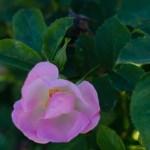 Roemers_Hip_Happy_Shrub_Rose_Texas_Dallas_April-4