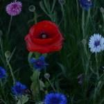 Wildflowers+Poppies_Texas_Lee_Ann_Torrans-3