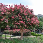 Tuscarora Crape Myrtle with Knockout Roses