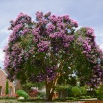 Twilight Large Purple Crape Myrtle
