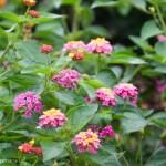 Pink_Lantana_Texas_Gardening_Lee_Ann_Torrans