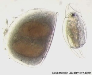 Resting egg pouch (ephippium) and the juvenile Daphnid that just hatched from it. Collected from residual sediment of a NOBOB ballast tank in 2001. Photo by S. Bandoni and H. MacIsaac.