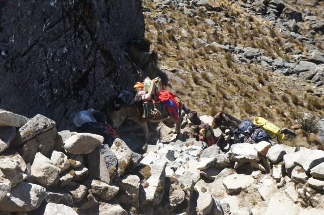 Les mules surchargées souffrent aussi pour atteindre le sommet