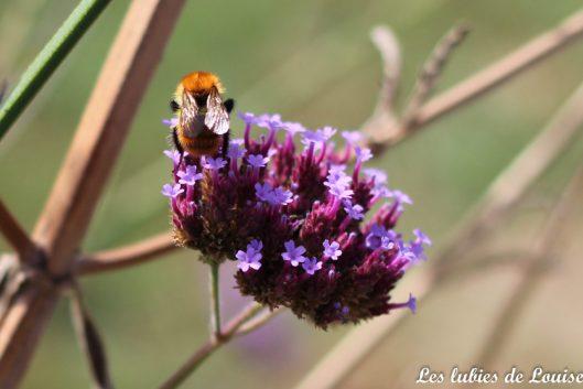 2016-08-25- Centaurée fleurie- les lubies de louise-37
