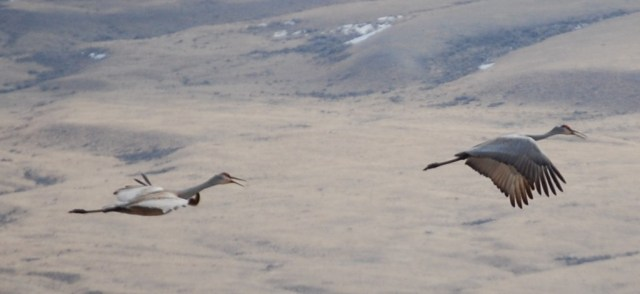 Sandhill Cranes near Red Rock Ranch in Montana