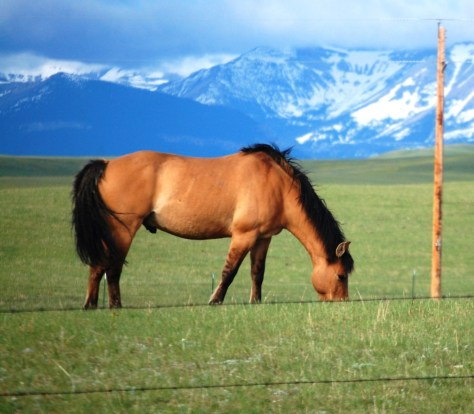 Horses graze on Blackfeet land as seen from US 89 southeast of Browning, MT