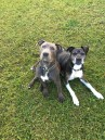 Tucker and Max, Cody Neale's two pit bulls, sit for their photo to be taken.