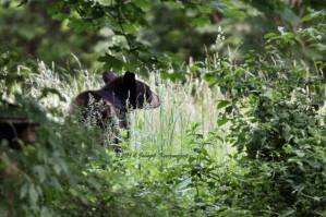 NEARBY: Another Bear Might Be In The Area