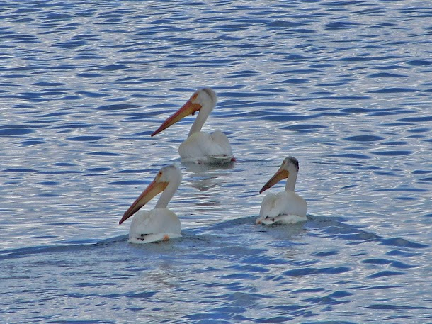 Three Pelicans Swiming.jpg