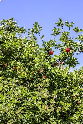 Sommeræbler - Brødrene Bækgaard laver æblemost - Mikkel Bækgaards Madblog