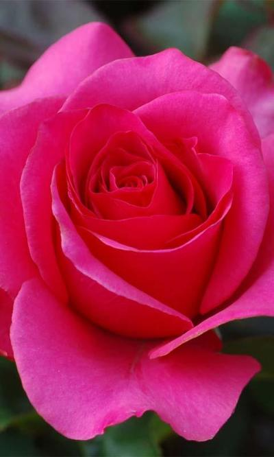 3D Love Rose Live Wallpaper - Android Apps on Google Play