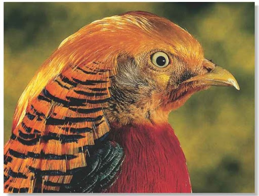 Golden Pheasant  Birds  Golden Pheasant