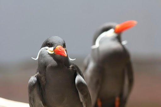 Inca Tern  The Bird With A Magnificent Moustache   Amusing Planet inca tern 4