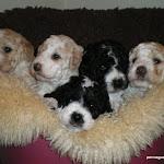diana´s anton puppies march 08.JPG