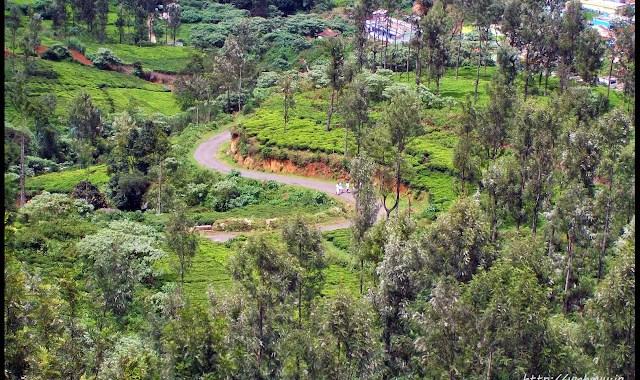 kodanad tea garden