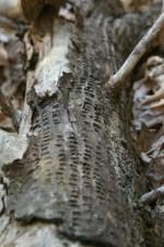 USA, Smith Mountain Lake, VA - Pień drzewa wyrzeżbiony przez Yellow Bellied Sap Sucker (Fot. Robert Bajan)