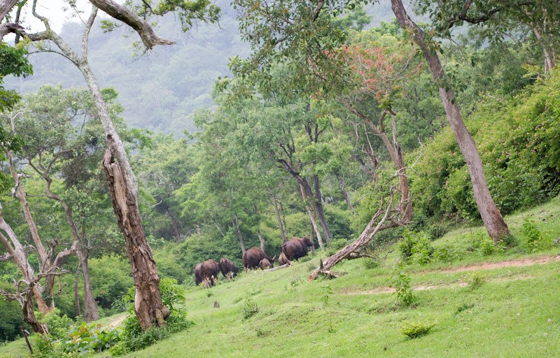Herd of Gaurs in bandipur forest