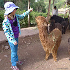 Emma likes this young-adult alpaca.