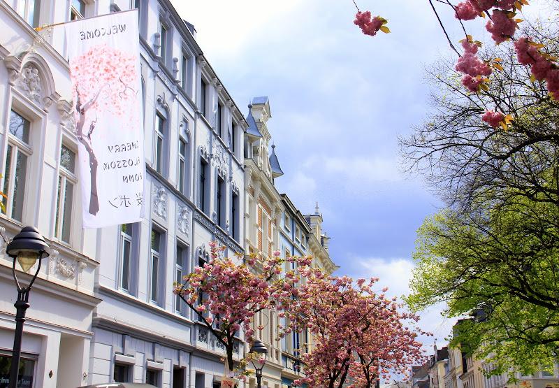#Germany #Germanytourism #Bonncherryblossomfestival