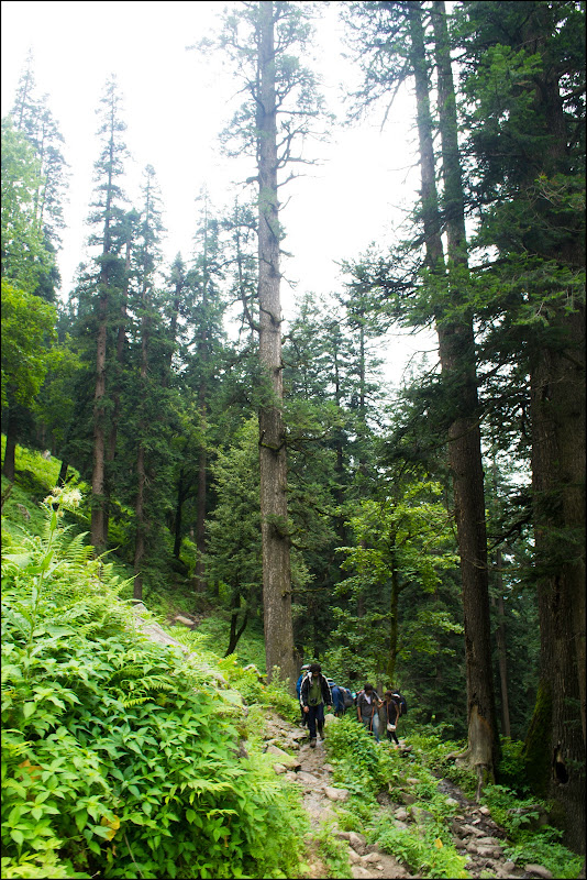 Tall deodars of Jobra - Hampta Pass Trek