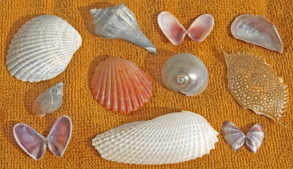 Sea Shells Crab clam angel wing spiral