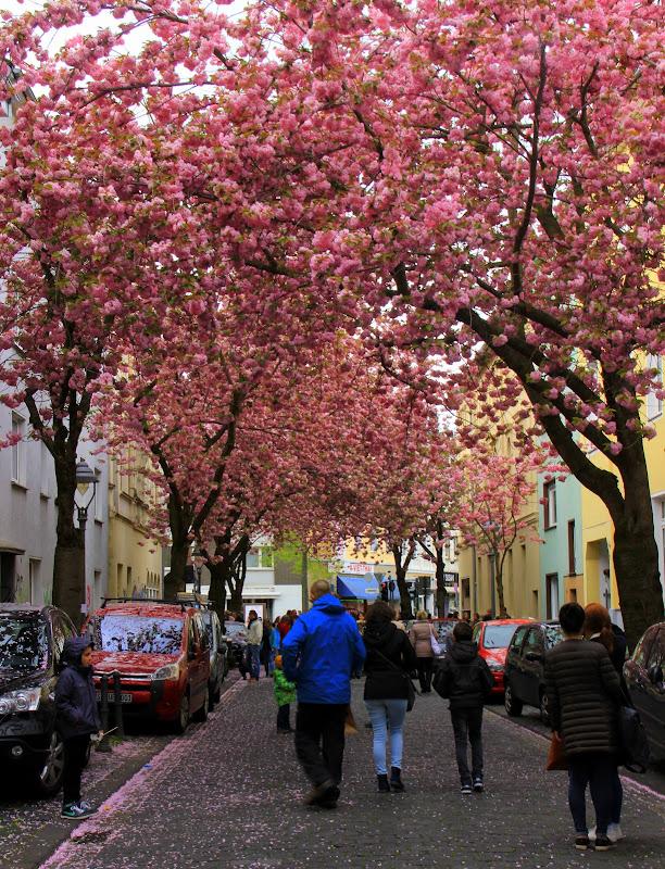 #Germany #Germanytourism #Bonncherryblossomfestival #Heerstrasse