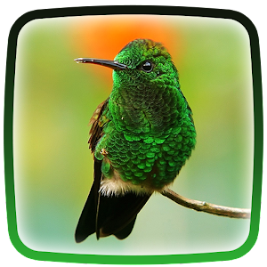 Download Hummingbird live wallpaper Google Play softwares - a7Aum0pQ0lql | mobile9
