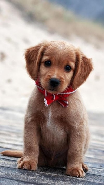 Puppies Live Wallpaper 🐶 Cute Puppy Pictures - Android Apps on Google Play